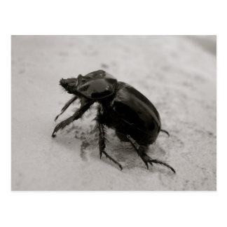 Beetle, Rhinoceros Postcard
