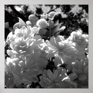 Begonias Poster