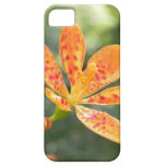 Belamcanda Chinensis Bloom iPhone 5 Cover