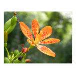 Belamcanda Chinensis Bloom Postcards