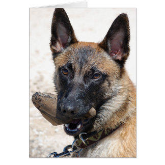 Belgian Malinois with Driftwood Cards