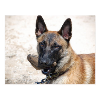 Belgian Malinois with Driftwood Postcard
