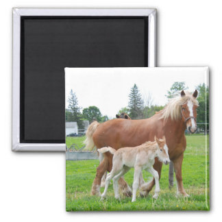Belgian Mare and Filly Fridge Magnets