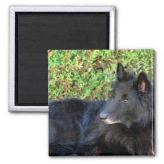 Belgian Shepherd magnet