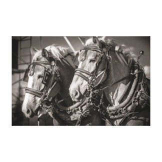Belgium draught horses canvas print