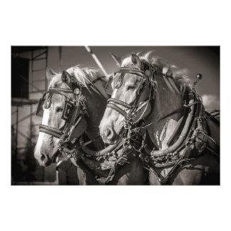 Belgium draught horses photo print
