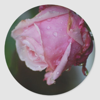 Belinda's Dream Rosebud Sticker