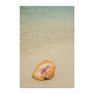 Belize, Caribbean Sea, Glover's Reef. Conch Canvas Print