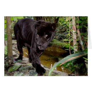 Belize City Zoo. Black panther Greeting Card