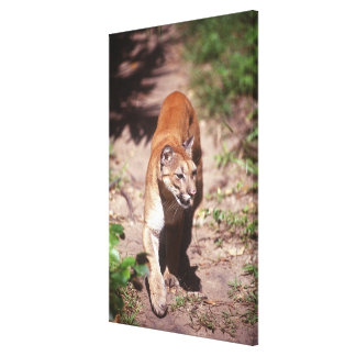 Belize, Jaquar Preserve Canvas Prints