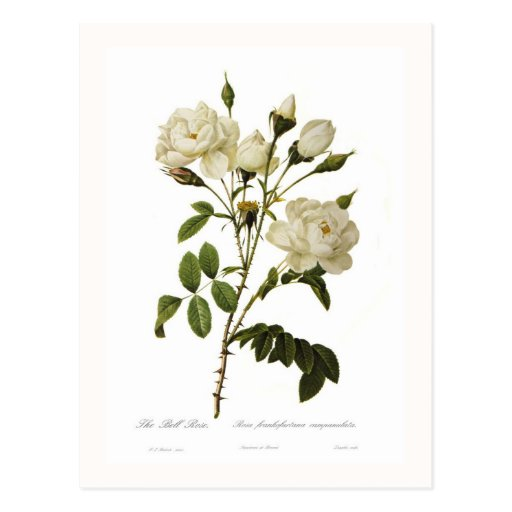Bell rose post card