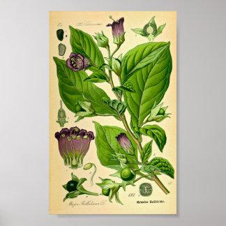 Belladonna Deadly Nightshade Atropa belladonna Posters