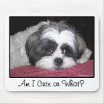 Belle The Shih Tzu Dog