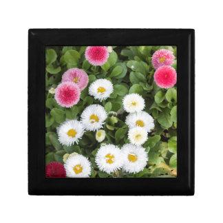 bellis perennis daisy in the garden gift box
