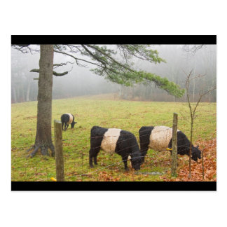 Belted Galloway Cows On Farm In Rockport Maine Postcard