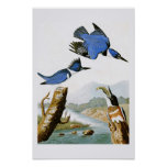 Belted Kingfisher John Audubon Birds of America Poster