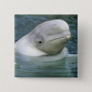 Beluga Whale, Delphinapterus leucas), Captive 15 Cm Square Badge