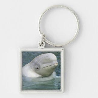 Beluga Whale, Delphinapterus leucas), Captive Key Ring
