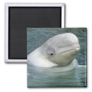 Beluga Whale, Delphinapterus leucas), Captive Refrigerator Magnet