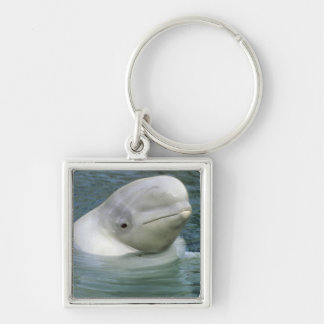 Beluga Whale, Delphinapterus leucas), Captive Silver-Colored Square Key Ring