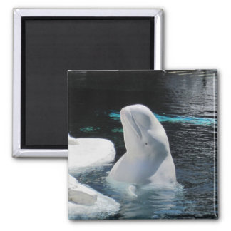 Beluga Whale Gifts Square Magnet