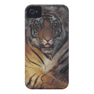 Bengal Tiger Cub iPhone 4 Cover