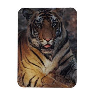 Bengal Tiger Cub Rectangular Photo Magnet