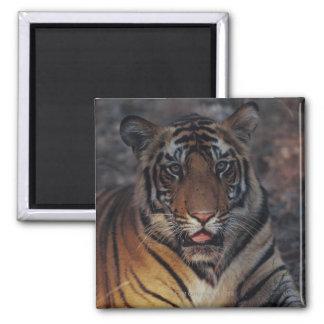 Bengal Tiger Cub Square Magnet