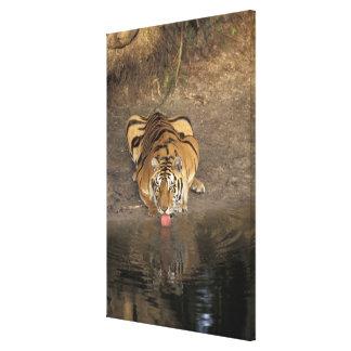 Bengal Tiger drinking Panthera tigris) Canvas Print