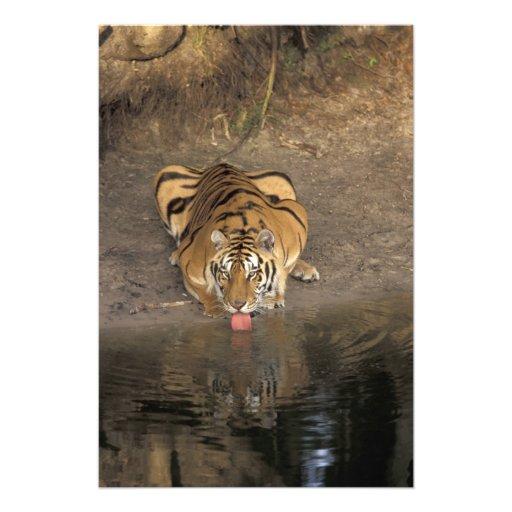 Bengal Tiger drinking Panthera tigris) Photo Art