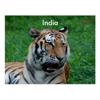Bengal Tiger in India Postcard