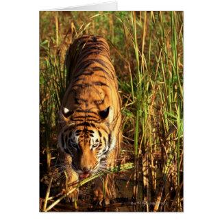 Bengal tiger in wetlands card