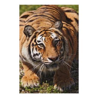 Bengal Tiger, Panthera tigris 2 Photo Art