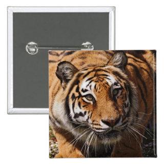 Bengal Tiger, Panthera tigris 3 15 Cm Square Badge