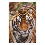 Bengal Tiger, Panthera tigris 3 Photo Print