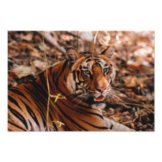 Bengal Tiger, Panthera tigris, Bandhavgarh 3 Photo Print