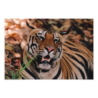 Bengal Tiger, Panthera tigris, Bandhavgarh Photo Print