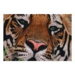 Bengal Tiger, Panthera tigris, Bandhavgarh Photograph