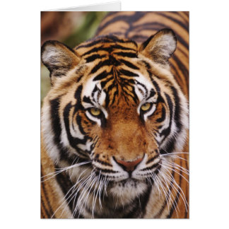 Bengal Tiger, Panthera tigris Card