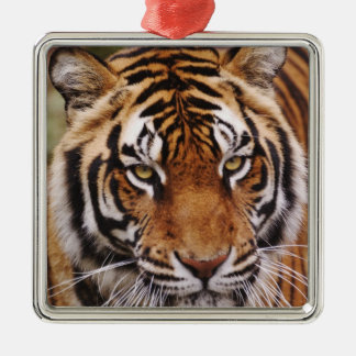 Bengal Tiger, Panthera tigris Christmas Ornament