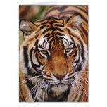 Bengal Tiger, Panthera tigris Greeting Cards