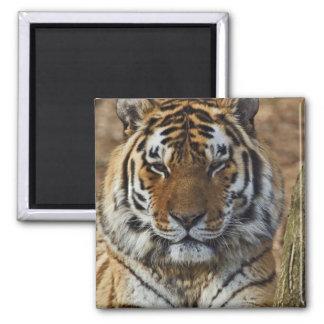 Bengal Tiger, Panthera tigris, Louisville Zoo, Magnet
