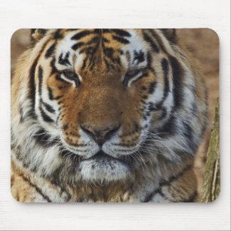 Bengal Tiger, Panthera tigris, Louisville Zoo, Mouse Mat