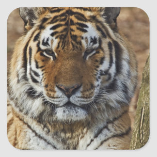 Bengal Tiger, Panthera tigris, Louisville Zoo, Square Sticker