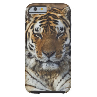 Bengal Tiger, Panthera tigris, Louisville Zoo, Tough iPhone 6 Case