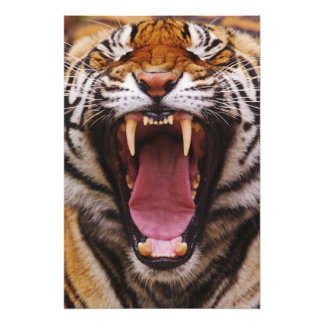 Bengal Tiger, Panthera tigris Photo Print
