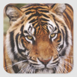 Bengal Tiger, Panthera tigris Square Sticker