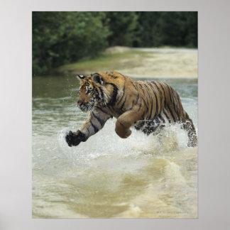 Bengal tiger (Panthera tigris tigris) charging Print