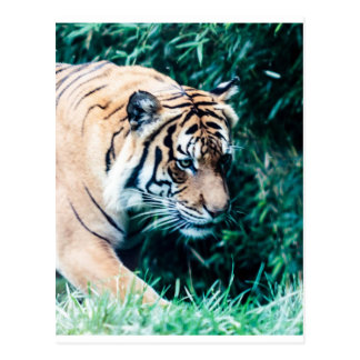 Bengal Tiger Postcards