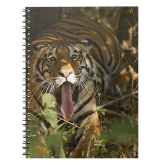 Bengal tiger resting, yawning note book